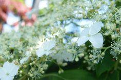 EH-klatrehortensia-4 Planters, Flowers, Plant, Window Boxes, Royal Icing Flowers, Flower, Florals, Floral, Pot Holders