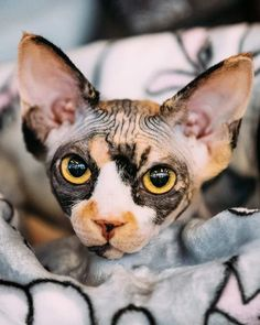 Sphynx Cat - Find Out About Life With A Hairless Cat Breed Kittens sphynx cat I Love Cats, Crazy Cats, Cute Cats, Funny Cats, Spinx Cat, Cute Hairless Cat, Cat Ideas, Cat Anime, Beautiful Cats