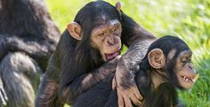 Like humans, chimpanzees have an extended juvenile period during which they gradually develop and refine their social skills - adult chimps kiss and embrace after a fight while youngsters reconcile through play, LJMU researchers have discovered
