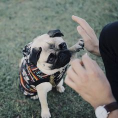 This week's social pug profile superstar is this adventurous cutie, Cali. Head on over to the blog to see what she gets up to on her adventures and a whole lot more.  http://www.thepugdiary.com/social-pug-profile-cali/