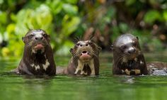 Nuestra fauna en la selva de madre de Dios - Perú loboderio.jpg