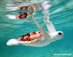 Tartaruga-verde albina (Chelonia mydas) ♥   Estima-se que, de cada mil filhotes de tartaruga marinha, apenas um ou dois atingem a idade adulta. Muitos são devorados por siris, aves marinhas, polvos e principalmente peixes. Outros morrem de fome e doenças naturais. Filhotes albinos raramente sobrevivem na natureza.