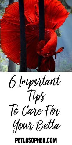 6 Important Tips to Care for Your Betta Caring for a Betta Siamese Fighting Fish How to Keep a Siamese Fighting Fish Betta Fish Types, Betta Fish Tank, Freshwater Aquarium, Aquarium Fish, Beta Fish Care, Fisher, Fish Bites, Siamese Fighting Fish, Rare Animals