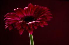 Deep pink Gerbera #flower #gerbera #macrophotography #studio #botanical #pretty