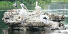 Pelicans In St James Park | Flickr - Photo Sharing!
