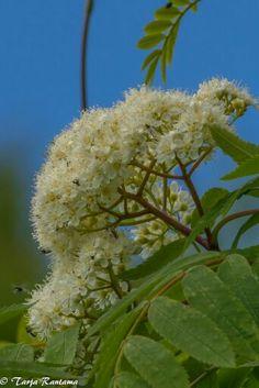 Pihlaja, Sorbus aucuparia. Dandelion, Flowers, Plants, Dandelions, Plant, Taraxacum Officinale, Royal Icing Flowers, Flower, Florals