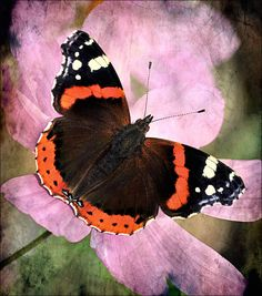The Red Admiral (Vanessa atalanta) is a well-known colourful butterfly, found in temperate Europe, Asia and North America. The Red Admiral has a 45–50 mm (1.8–2.0 in) wing span. The species is resident only in warmer areas, but migrates north in spring, and sometimes again in autumn.