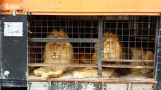 When Jora and Black were brought to the circus as lion cubs, they were never going back to the wild - until this past Sunday when everything changed.