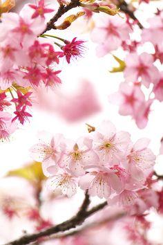 ileftmyheartintokyo:  Spring Pink by Yoichi_ on Flickr.