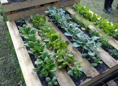 Got Pallets? Hate weeding? Dont feel like turning up a bunch of grass? Use a pallet as a garden bed - staple garden cloth on the backside of the pallet fill with dirt and start growing! Good idea for small raised bed!