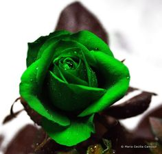Pix For > Real Green Roses