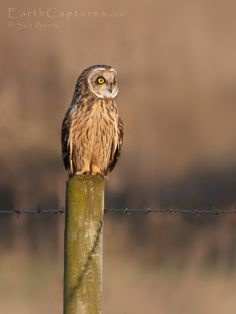 Short eared owl by Sue Berry, via 500px