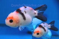 Super cute ranchu goldfish.