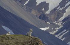 Dall Sheep (Ovis dalli) / June
