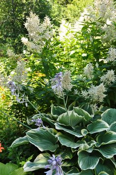 Front walkway garden. Aruncus and Variegated Hosta make a handsome, luminous pair along the front walk. Three Dogs in a Garden: Lessons Learned