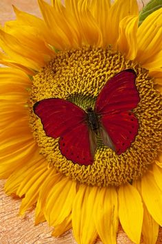 Red Butterfly On Sunflower Photograph by Garry Gay - Red Butterfly On Sunflower Fine Art Prints and Posters for Sale Sunflower Pictures, Butterfly Pictures, Sunflower Art, Red Butterfly, Sunflower Wallpaper, Butterfly Wallpaper, Fine Art Photo, Photo Art, Beautiful Butterflies