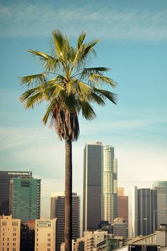 Los Angeles / Downtown / palm tree