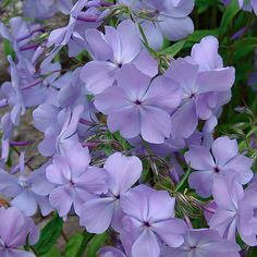 Phlox divaricata 'Blue Moon' (Blue phlox, Wild sweet William, Woodland phlox) - Fine Gardening Plant Guide
