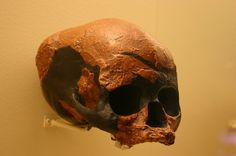 1024px-Niah_Cave_skull._Homo_Sapiens_45,000_to_39,000_Years_Old.jpg (1024×680) - Hall of Human Origins, the Smithsonian National Museum of Natural History, USA. Auteur : Ryan Somma, 1980.