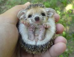 actually i think this is a hedgehog ^^;