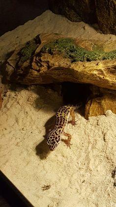 Pet Lizards, Reptiles, Crested Gecko, Leopard Geckos, Percy Jackson, Terrarium, Room Inspiration, Cute Animals, Dragon