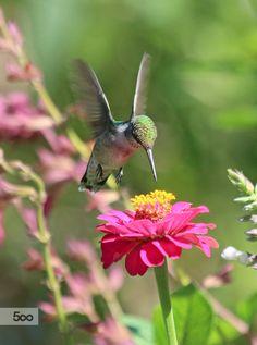 Ruby-throated Hummingbird by Bridgette Kistinger on 500px Hummingbirds