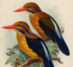 Find out why animal rights activists were outraged when a researcher for New York's American Museum of Natural History killed a moustached kingfisher. New York Museums, John James Audubon, Rare Birds, Ceramic Animals, Kingfisher, Papua New Guinea, Animal Rights, Natural History, Beautiful Birds
