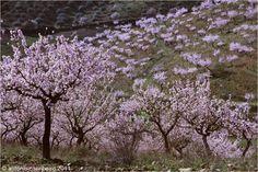 amendoeiras em flor no Douro - Pesquisa do Google