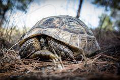 https://flic.kr/p/qPzCVQ | Turkish Turtle