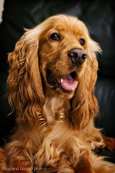 Cocker Spaniel - getting one of these and a couple border collies....one we have our houses in the UK and US.
