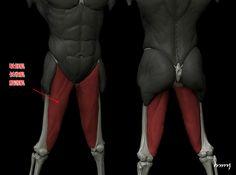 Leg Muscles (Adductor Muscles - Brevis, Longus, Magnus)