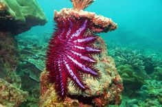 Crown of Thorns Starfish, Phuket