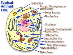 Plant cell model cell model diagram project parts structure animal cells do not have rigid cell walls and chloroplasts and they have smaller vacuoles plant cells have a rigid cell wall and chloroplasts and have a ccuart Choice Image