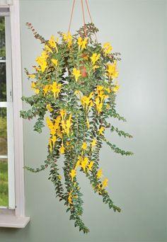 Flying Goldfish Plant (Columnea 'Carnival') - Indoor and Windowsill Plants - Indoor