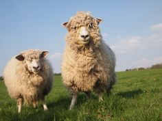 Cotswold Sheep at Cwmcrwth Farm Holiday Cottages