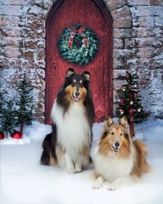 Image result for standard collie christmas images