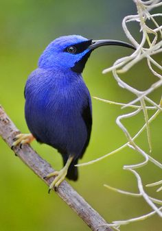 The Purple Honeycreeper is distributed throughout most of the Amazon and Orinoco Basins as well as the Guianas, Trinidad and the Pacific coast of Colombia and Ecuador.