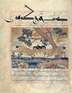 Two Mountain Rams Fighting. Abu Sa'd' Ubayd-Allah ibn Ibrahim, known as Ibn Bakhtishu. Manafi al-Hayawan (The Benefits of Animals), in Persian. Persia, Maragha, dated 1294, 1297, or 1299. 355 x 280 mm