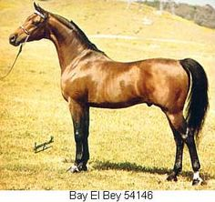 BAY EL BEY++ bay stallion by Bay-Abi++