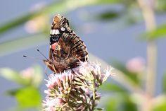 Wunderbare Motive im Spätsommer | Schmetterling wie der Admiral genießen die Blüten im Spätsommer (c) Frank Koebsch (2)