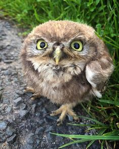 Found a Little Owl in the road near Arncliffe. He'd not quite mastered the art…                                                                                                                                                                                 More                                                                                                                                                                                 More