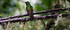 Hummingbirds are frequent visitors to Guango Lodge in the Andean cloud forest. © ATTA / Hassen Salum