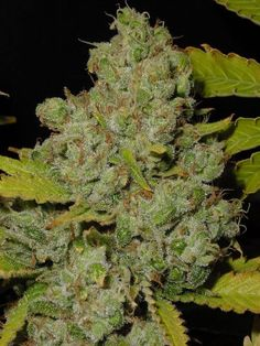 growing marijuana at home  http://growingmarijuana.com/