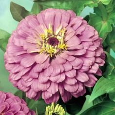 """Exquisite (Zinnia elegans) - A true magician that lives up to its name! A truly unique zinnia! Large, 4-5"""" blooms burst open a brilliant red, and as new ones appear every day, the older ones transition to a rosy-red then a softer still rose or dusty pink."""