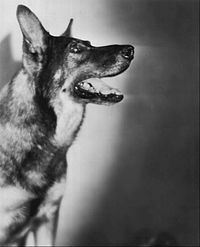 August 10, 1932: Died, Rin Tin Tin. The newborn German Shepherd had been rescued from a battlefield by an American soldier during World War I, and went on to become the most famous dog in Hollywood. He appeared in 27 films (sometimes playing a wolf). He is believed to have received the most votes for the first Best Actor Oscar in 1929, but the Academy decided that only a human could win. His offspring also starred in film, radio, and television.