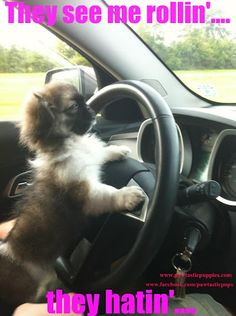 I know a Peke that loves to be behind the wheel, too!