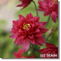 Staudenfoto zu Aquilegia vulgaris 'Clementine Red' (Spornlose Garten-Akelei)