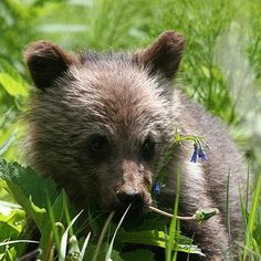 grizzly bear cub - Google Search Grizzly Bear Cub, Bear Cubs, Brown Bear, Livestock, Woodland, Animals, Dandelions, Baby, Google Search