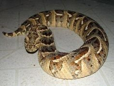 World has been full of wild animals that are very dangerous. And when it comes to Africa, this continent has many wild animals which are really very dangerous. In fact Africa is the continent on this Adder Snake, All About Snakes, Poisonous Snakes, Colorful Snakes, Exotic Pets, Exotic Animals, Snake Venom, Beautiful Snakes, Wild Spirit