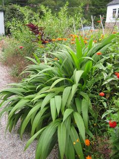 Setaria palmifolia is a fast-growing annual grass